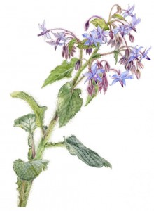 Botanical Art / Illustration - Borage - Borago officinalis - flowers leaves